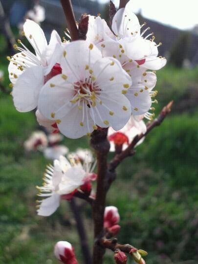 Rascvetala grana. Foto: Suzana Janković